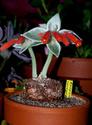 Sinningia leucotricha Sinnin10