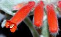Sinningia leucotricha Sinnin11