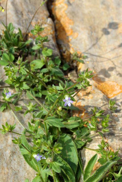 HERAKLEIA : un paradis pour orchidophiles Campan10