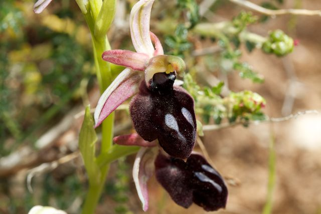HERAKLEIA : un paradis pour orchidophiles - Page 2 Img_2612