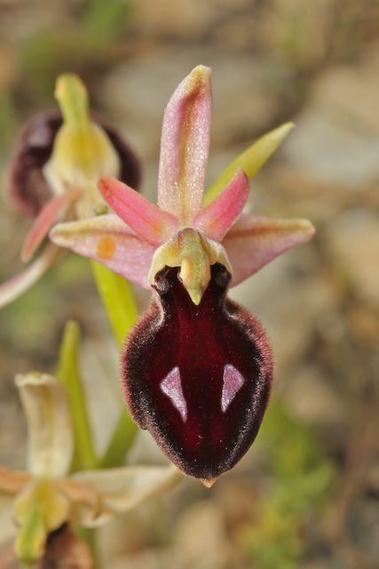 HERAKLEIA : un paradis pour orchidophiles - Page 2 Img_2720