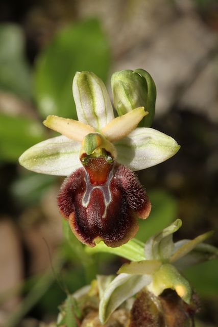 Ophrys panormitana var praecox (Ophrys précoce ) Pano_310