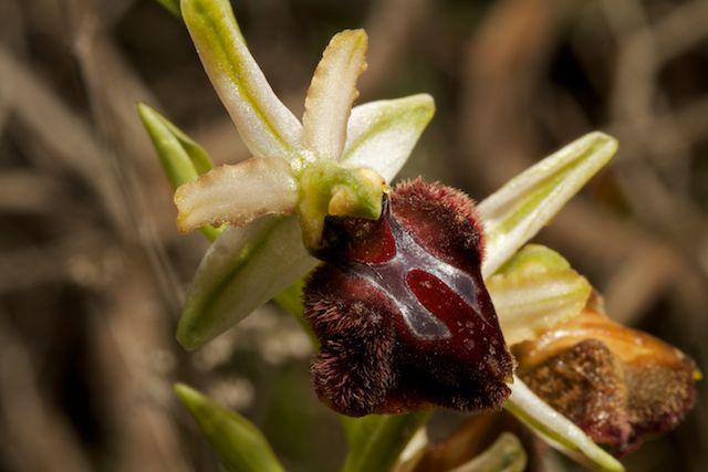 Ophrys panormitana var praecox (Ophrys précoce ) Pano_410