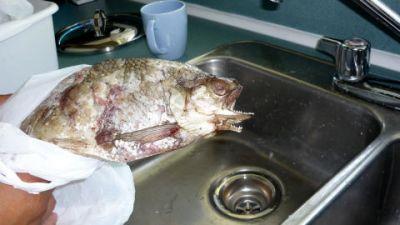 Un poisson à deux bouches Normal11