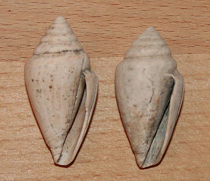 Conidae fossiles de Bizerte (Tunisie) Bizert10