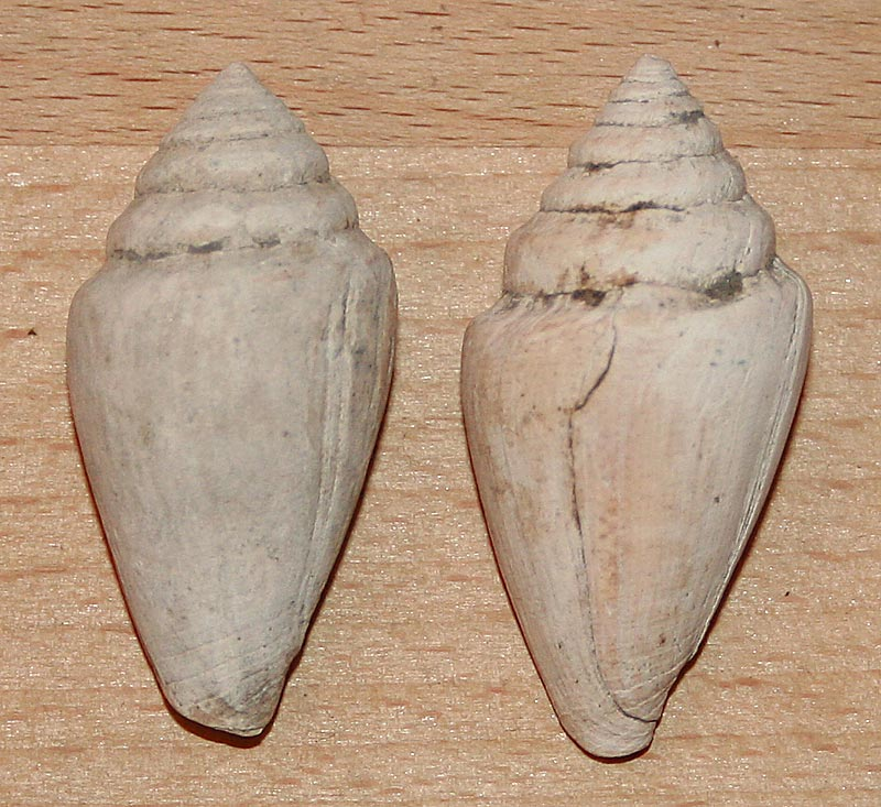 Conidae fossiles de Bizerte (Tunisie) Bizert11