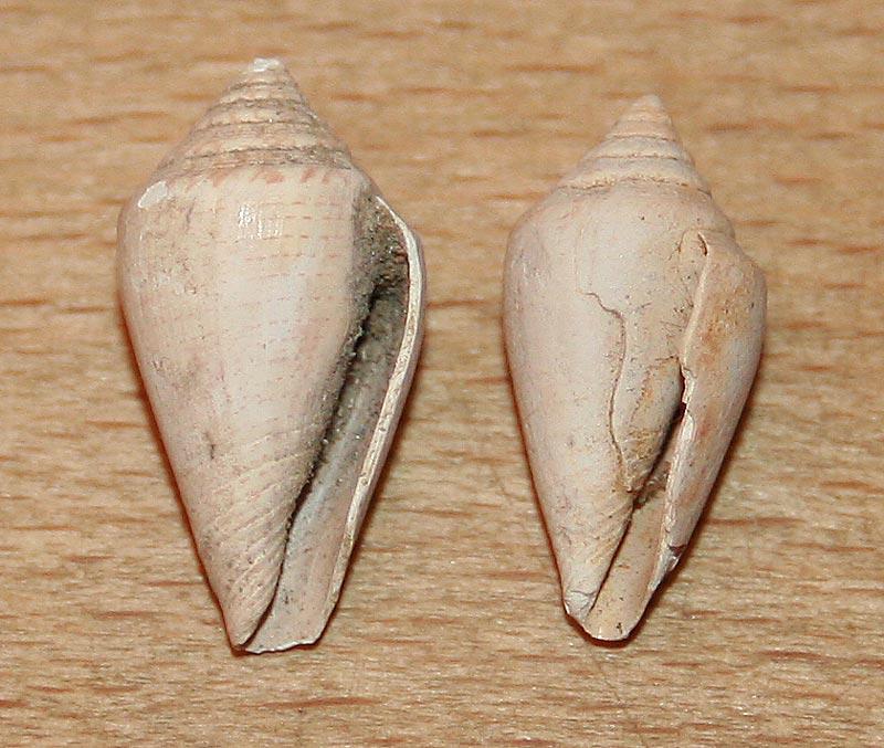 Conidae fossiles de Bizerte (Tunisie) Bizert13