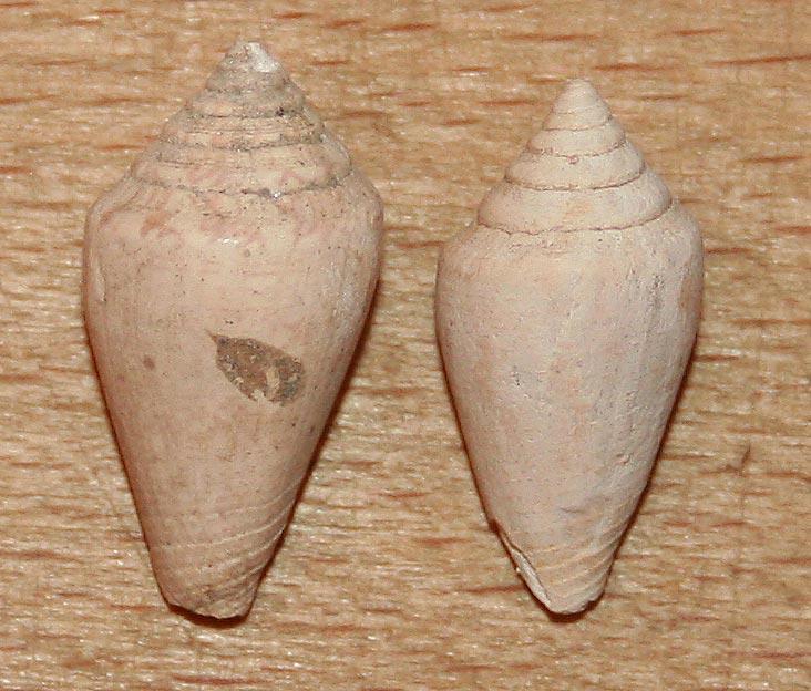 Conidae fossiles de Bizerte (Tunisie) Bizert14