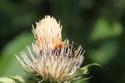 Le fil de l'entomologie - Page 5 Bourdo11