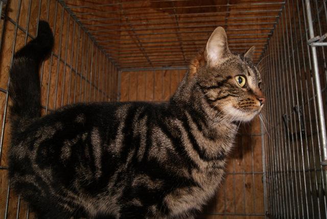 Guiness, chatte brown tabby née en 2011 Dsc05210