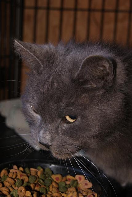 Balthazar, mâle bleu poils mi-longs, âgé de plus de six ans Dsc05211