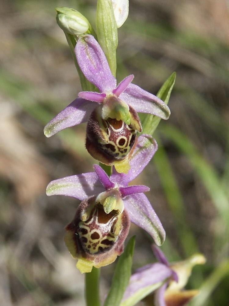 Début juin 2008 en Haute Provence - 2 Ophrys11