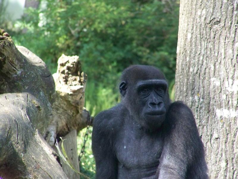 Gorille 100_5013