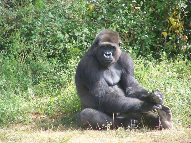Gorille 100_5014