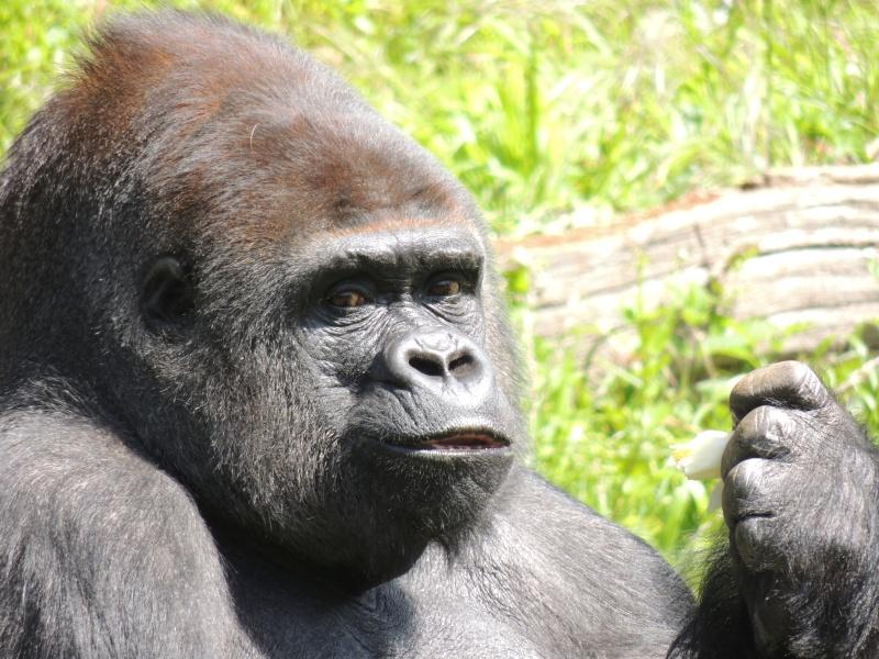 Gorille Dscn0722