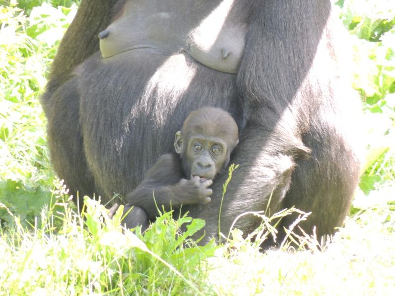 Gorille Dscn0723