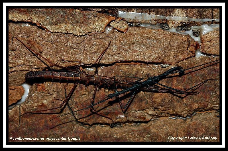 Acanthomenexenus polyacanthus (PSG 295) Acanth10