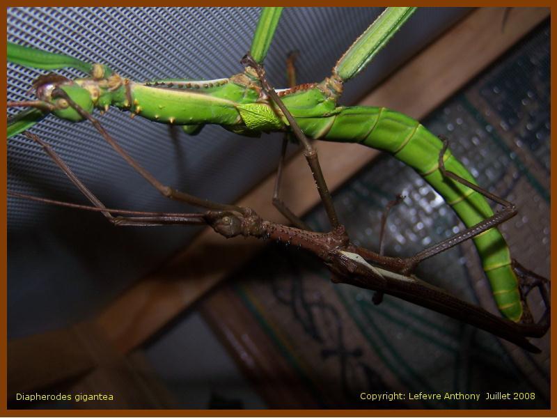 Diapherodes gigantea (P.S.G n°260) Accou_10