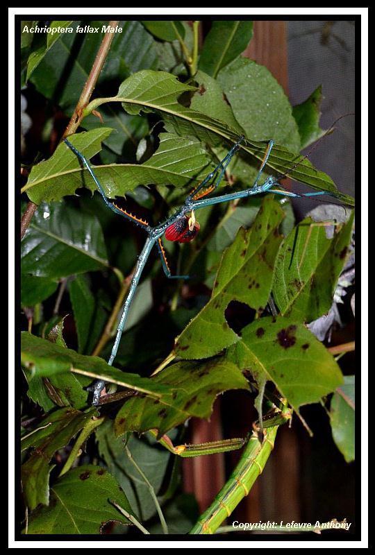 Achrioptera fallax (PSG 327) - Page 3 Achrio16