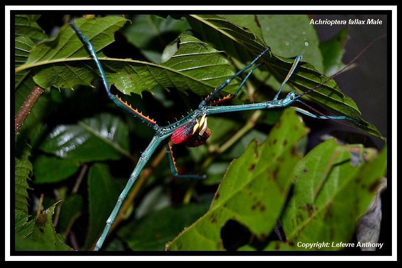Achrioptera fallax (PSG 327) - Page 3 Achrio17