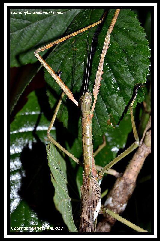 Acrophylla wuelfingi (PSG 13) Acroph16