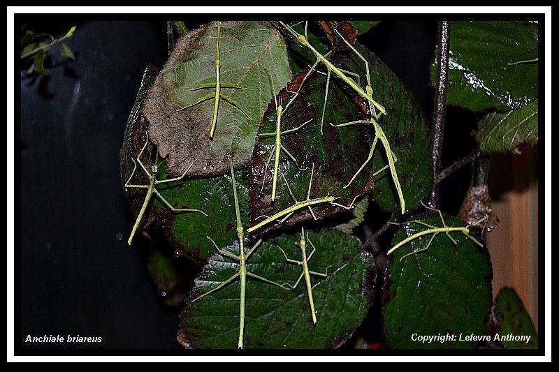 Anchiale briareus (PSG 15) Anchia11