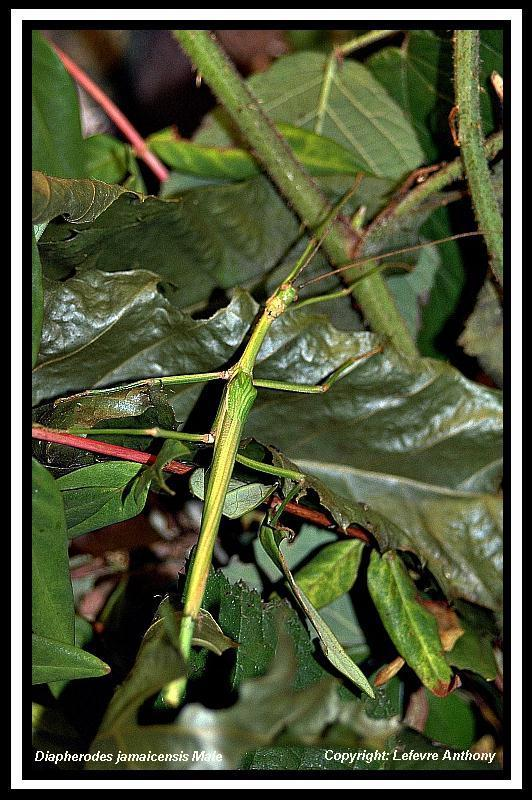 Diapherodes jamaicensis (PSG 214) Diaphe18