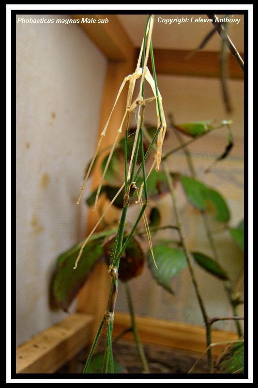 Phobaeticus maximus (PSG ?) Phobae14