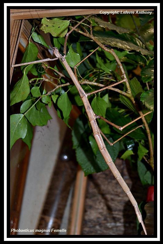 Phobaeticus maximus (PSG ?) Phobae22