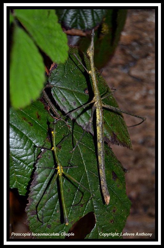 Proscopia luceomaculata Prosco10