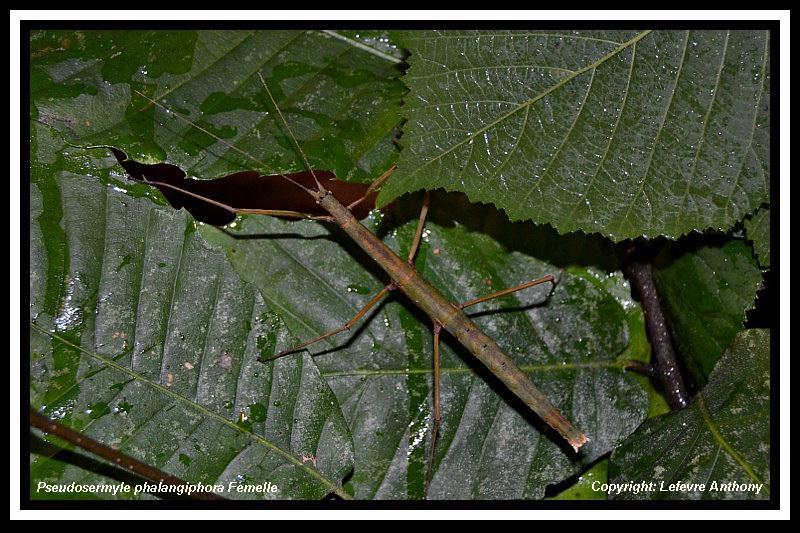 Pseudosermyle phalangiophora (PSG 237) Pseudo40