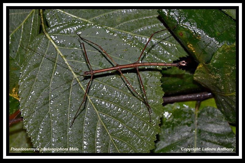 Pseudosermyle phalangiophora (PSG 237) Pseudo41