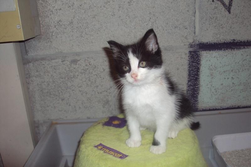 Gyn, jolie noire et blanche, 2 mois, VALENCIENNES - chaton 2011 Dsc02210