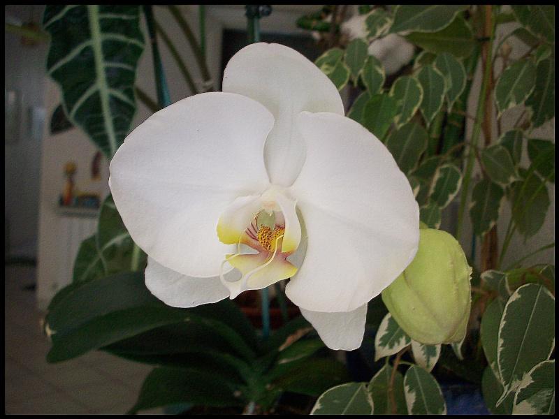 [Photos] Vos Phalaenopsis 100_1010