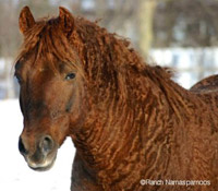 Race : le Curly Bashkir ou Early Curly ou Cheval-Bison Chimo-10