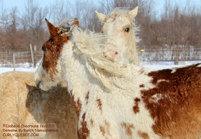 Race : le Curly Bashkir ou Early Curly ou Cheval-Bison Helios10