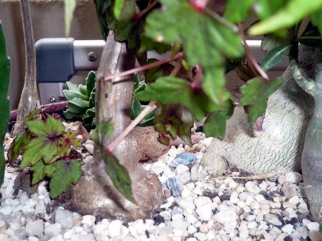 Bégonia sonderiana Caudex10