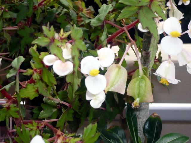 Bégonia sonderiana Fleur_10