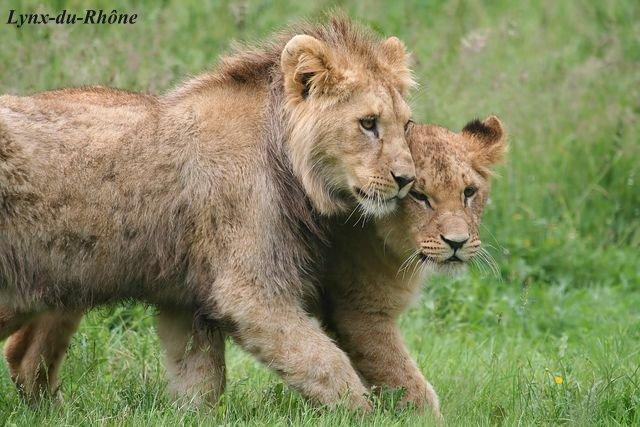LION - panthera leo Img_2010
