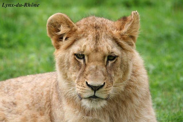 LION - panthera leo Img_2011