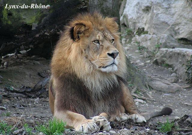 LION - panthera leo Img_2810