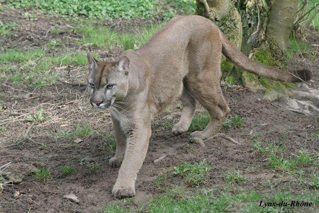 PUMA - Puma concolor Img_2914