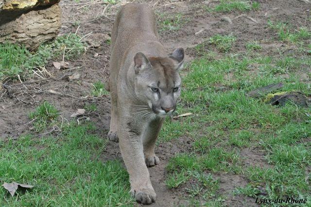 PUMA - Puma concolor Img_2915