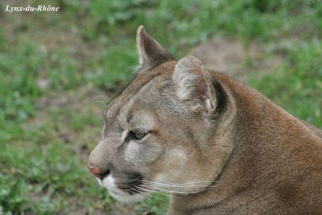 PUMA - Puma concolor Img_3012