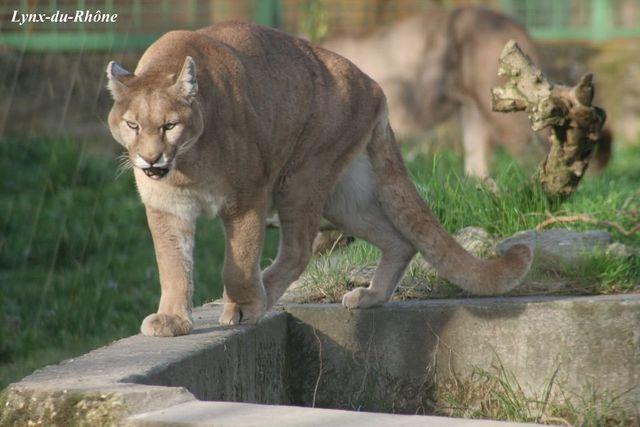PUMA - Puma concolor Img_3013