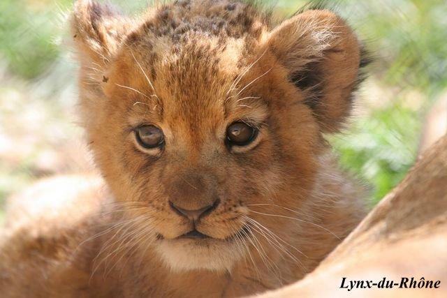 LION - panthera leo Img_3310