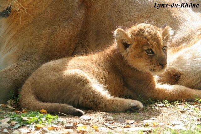 LION - panthera leo Img_3410