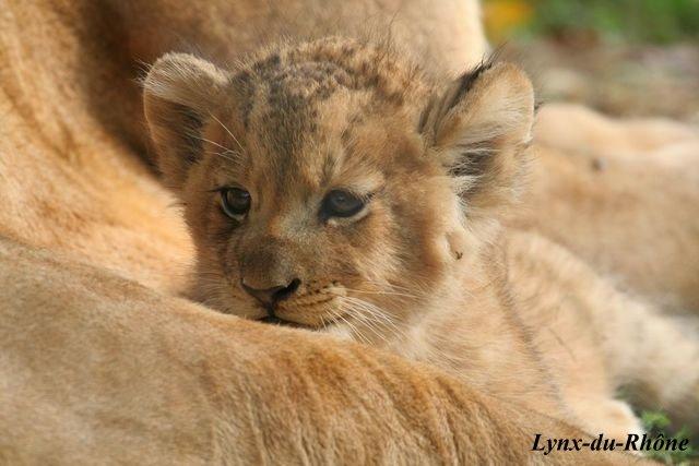 LION - panthera leo Img_3411