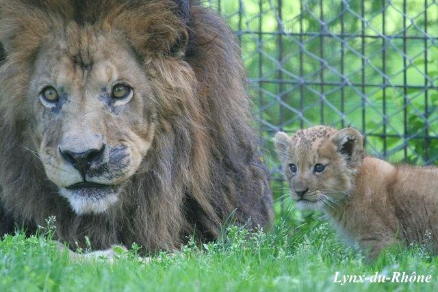 LION - panthera leo Img_3510