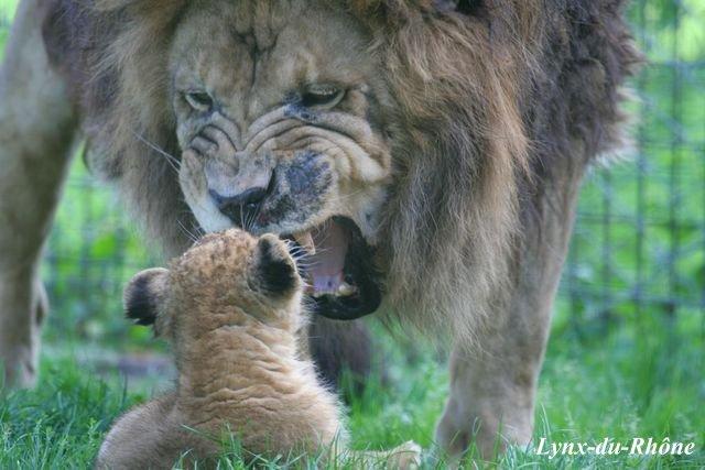 LION - panthera leo Img_3512